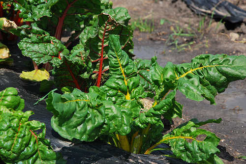 Organic Rainbow Swiss Chard from Monroe Family Organics